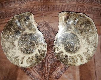 Full Moroccan ammonite fossil