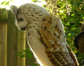 Eagle Owl, Bubo Bubo, Uhu FREE SHIPPING