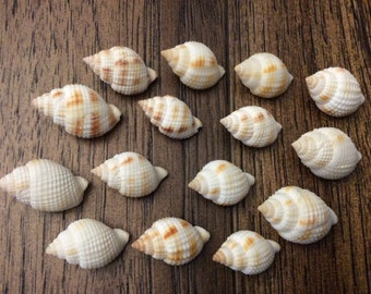 Florida Nutmeg Sea Shells (15 sea shells)