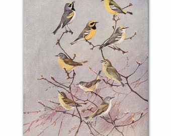 "Bird Wall Art, Bird Print (Vintage Bird Illustration, Antique Bird Artwork Gift) --- ""Yellow Warblers"" No. 81"