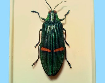Jewel Beetle, Catoxantha Opulenta, from Taiwan, very well preserved, real dried Insect in plastic Box