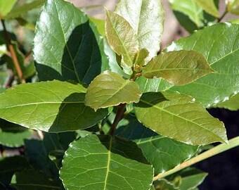 Hirt's Sweet Bay Laurel Herb - Laurus nobilis - Quart Pot