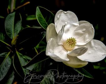 Magnolia Photograph, Magnolia Print, Magnolia Grandiflora