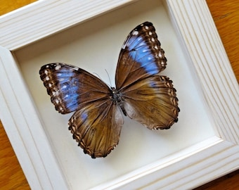 Real Morpho Marinita Female Framed - Taxidermy - Children Education - Home Decor
