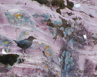 American Dipper, Water Bird, Nesting Season, Water Ouzel on Pink Rocks, Montana Rocks, Photograph or Greeting card