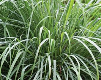 Lemon grass starter plants