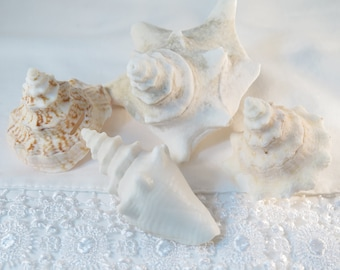 Bahamas Conch tops and small white conch shell