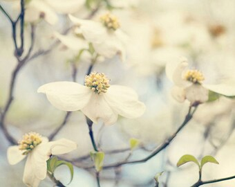 white dogwood flower photography, nature photograph, dogwood tree, spring wall art, white square home decor, large blue living room wall art