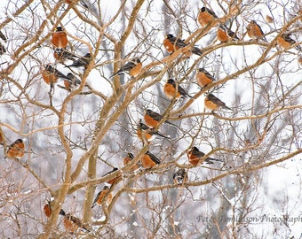 Robins in Winter, Arlington, Virginia: archival print signed and matted - larger sizes available