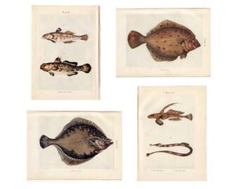 c. 1907 ANTIQUE FISH PRINTS - original antique prints - sea life marine beach ocean - set of 4 prints