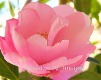 Pink Rose Canvas Print #43