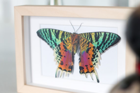 Framed sunset moth, Urania ripheus