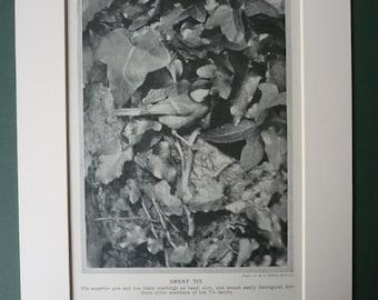 1920s Vintage Print Of A Great Tit - Countryside - Garden Bird - Ornithology - Nature - Natural History - Woodland Photograph - Bird Print