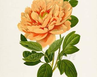 Moutan Peony Flower Art Print, Botanical Art Print, Flower Wall Art, Flower Print, Floral Print, Orange Peony Art Print