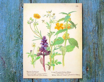 Flower Print - Meadow Buttercup, Common Bugle, Bitter Cress, Yellow Weasel Snout - 1970's Vintage Print - Book Plate Page