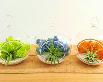 3pc Mini Air Plant Terrarium Party Pack / DIY AirPlant Terrarium Kit / Color Pop 2