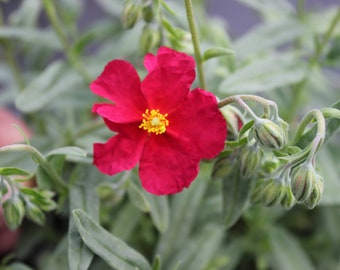 Helianthemum 9cm Beech Park Red Red Flowered Plant