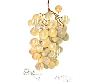 Beautiful grapes digital download of a vintage botanical drawing, watercolour.