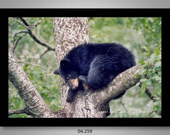 04.259 Black Bear Cub Limited Edition, Signed and Numbered 11x14 Matted Images (black mat)