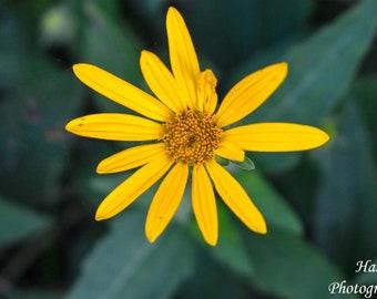 Yellow Wildflower in Lincoln, Nebraska // Macro Photography // Photo or Wood Print