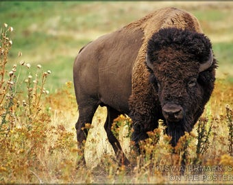 Poster, Many Sizes Available; American Bison Buffalo (Bison Bison)