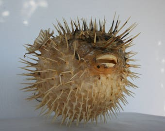 A taxidermy puffer fish.