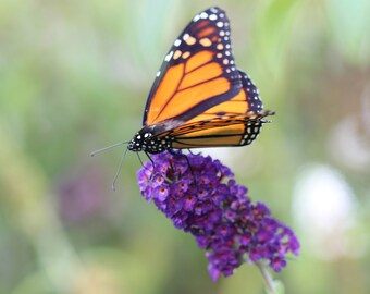 Monarch Butterfly, Digital Download, Printable, Purple Butterfly Bush, Wall Art, Note Card, Nature Photography, Greeting Card