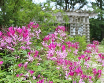Pagoda with pink flowers. Nature photography. Flower garden photo. Ohio outdoors.