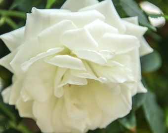 Close-Up Of A White Rose Print