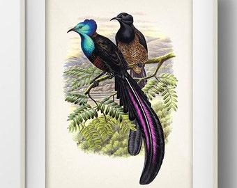 Princess Stephanie's Astrapia Bird of Paradise - BP-16 - Fine art print of a vintage natural history antique illustration