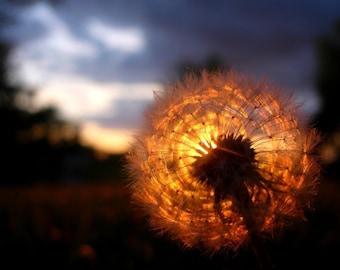 Sunset / Dandelion - Original Fine Art Photograph 8x10