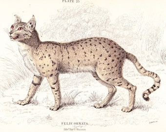 The Servalina Cat (Felis Ornata) Antique Print . original old vintage hand coloured feline art engraving dated 1834