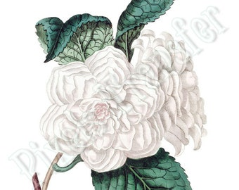 White CAMELLIA Instant Download Digital Downloads collage sheet wedding clipart 172
