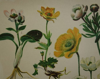 1913 old botanical print lovely antique floral illustration ranunculus vintage pictures of buttercup poppy mohn Alpine flowers herbs flora