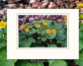 05.05.54 Marsh Marigold Individual Note Cards