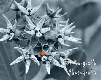 Ladybug Flower Photography print, 8x10 flower photo size, ladybug on flower, colorized black and white photo