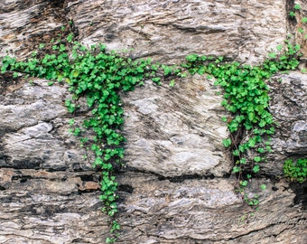 Ivy Stone Wall Photography, Harper's Ferry, Nature Photography, Landscape Photography 8x10 11x14