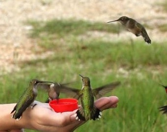 25 Hummingbird Vine Seeds-1089