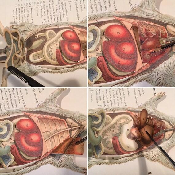 Anatomische Studie der Ratte seltene französische Präparation