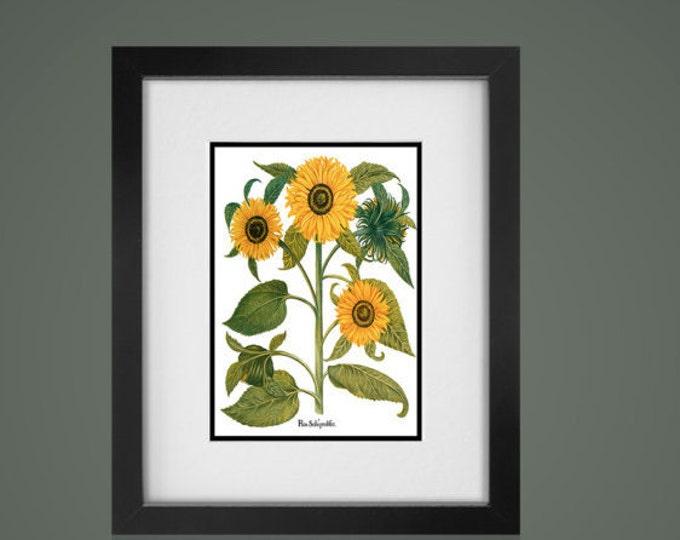 SUNFLOWER BOTANICAL PRINT - Free Shipping -Matted And Framed botanical Print, Gallery Wall Art, Framed Antique Print, Black Or  White Frames
