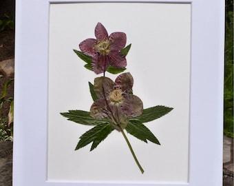 Real Pressed Flower Oriental Hellebore Lenten Rose Botanical Art Herbarium 11x14