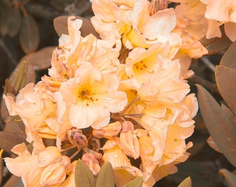 Rhododendron, Sunset Color #2