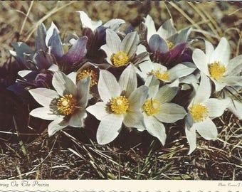 Vintage 1960s Postcard Prairie Crocus Manitoba MB Canada Floral Emblem Pulsatilla Flora Horticulture Card Photochrome Postally Unused