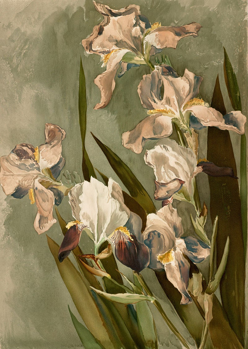 White iris vintage flower painting illustration digital zoom izmirmasajfo