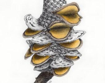 Banksia Seed Pod Drawing #1