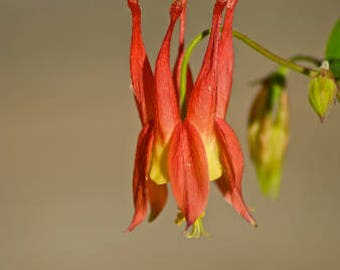 Aquilegia canadensis (Columbine) - 30 seeds.  Eye-catching species with scarlet and lemon-yellow flowers from May to July.