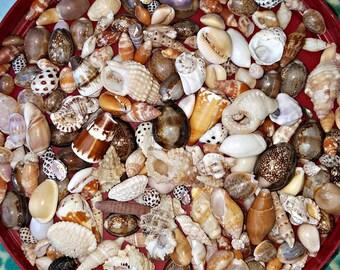 Hawaiian Seashell, Seashell craft supplies, Cone Shells, Cowrie Shells, Bulk Hawaiian Seashell, Shell Jewelry, Beach Decor, mermaid gift