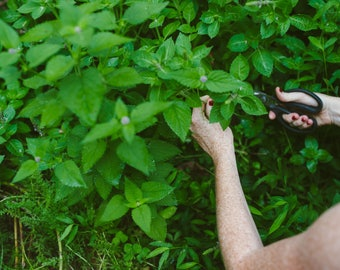 Holy Basil Tincture // Tulsi // Ocimum Tenuiflorum // Handcrafted from fresh herbs