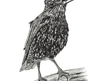 Blank Greetings Card Starling bird drawing