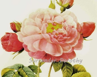 Pink Rose Of Orleans Redoute Rosa Gallica Aurelianesnsis Vintage Flower Botanical Lithograph Poster Print To Frame 44